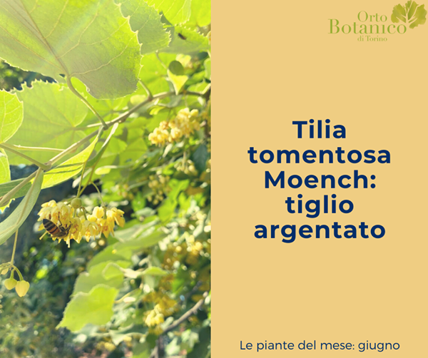 Tilia tomentosa Moench.