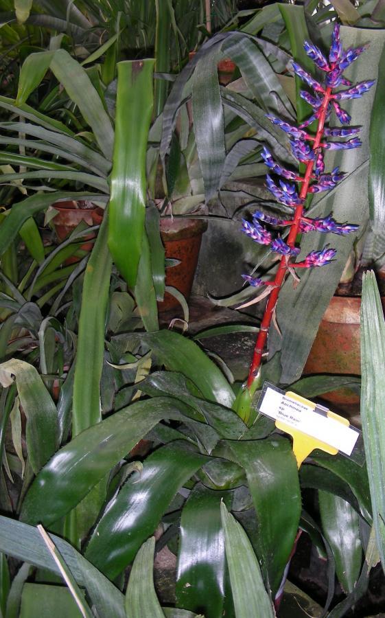 Le fioriture - Achmea var. Blue rain nella serra tropicale dell'Orto Botanico di Torino (foto V. Fossa)