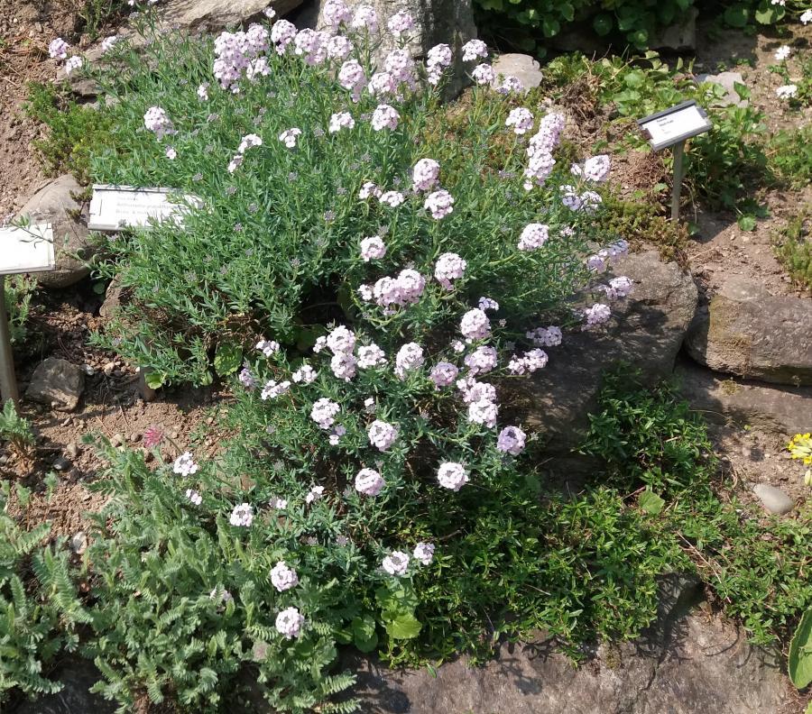 Aethionema grandiflorum, Alpineto, Orto Botanico di Torino (foto C. Ristorto)