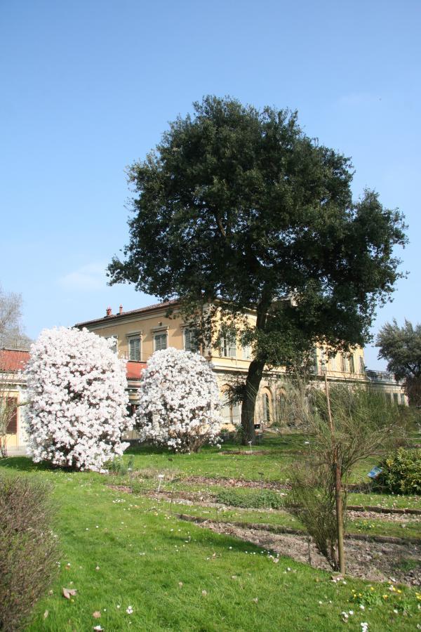Magnolia stellata e Sughera, Orto Botanico di Torino (foto G. Teppa)