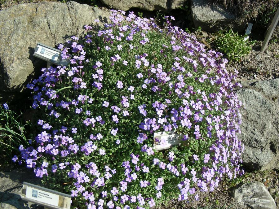 Aubrietia deltoidea, Alpineto, Orto Botanico di Torino (foto V. Fossa)