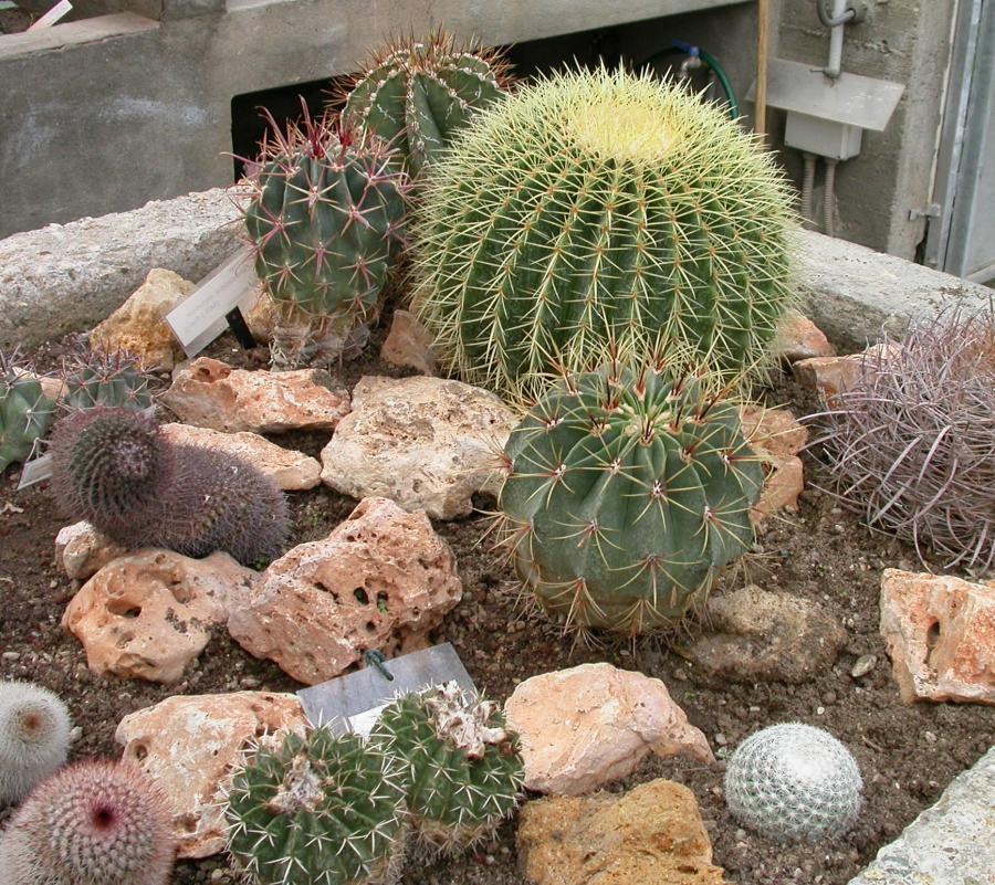 Cactacee nella serra delle piante succulente nell'Orto Botanico di Torino (foto V. Fossa)