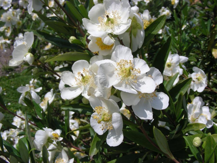 Carpenteria californica, Orto Botanico di Torino (foto V. Fossa)