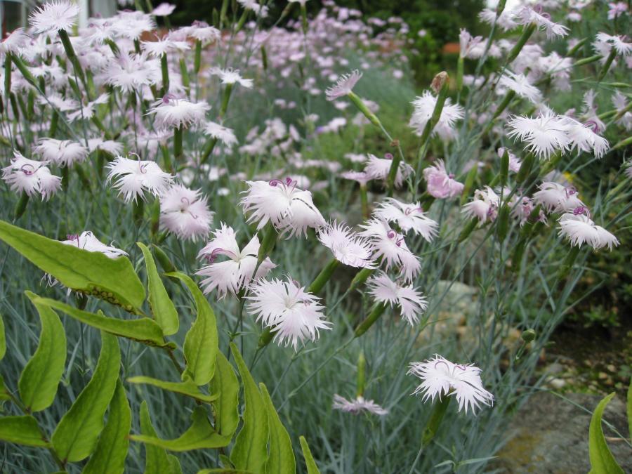 Dianthus plumarius, Orto Botanico di Torino (foto Scialuga)