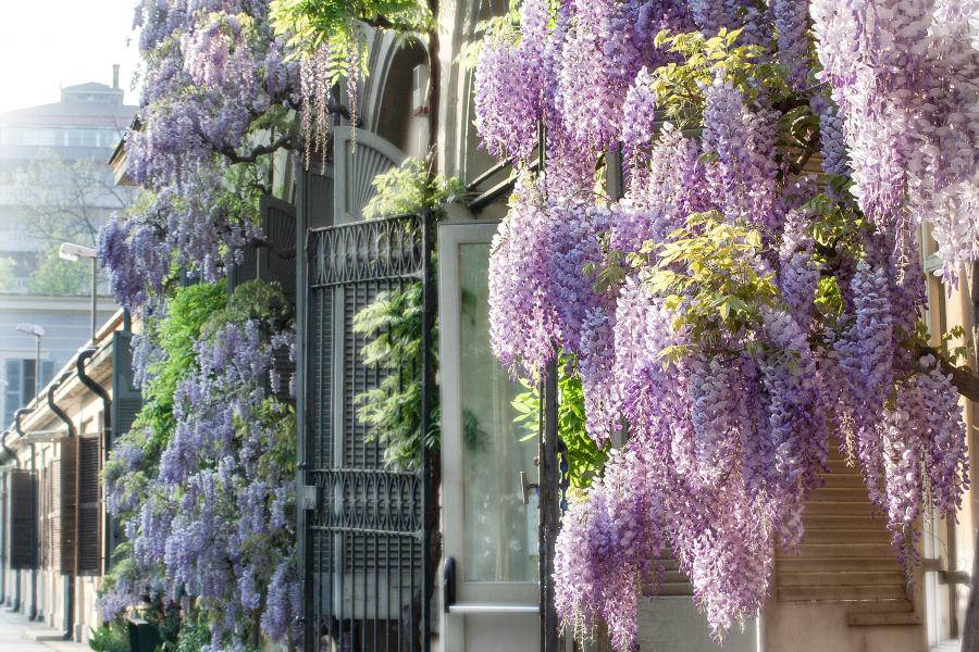 Glicine all'ingresso del Dipartimento, Orto Botanico di Torino (foto P. Piga)