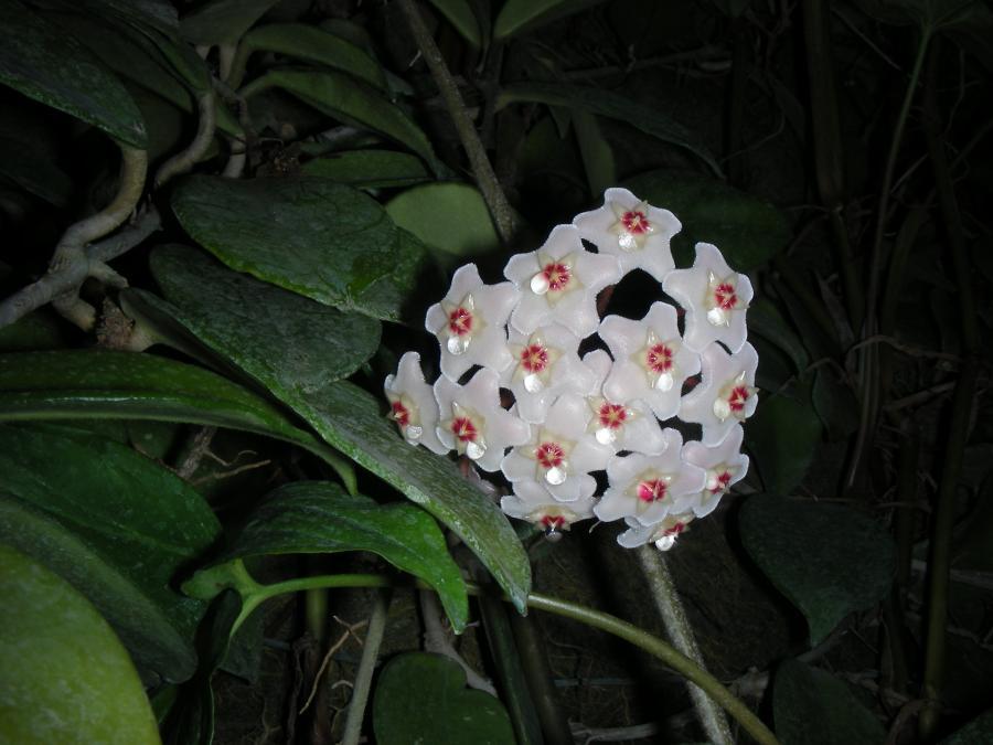 Le fioriture - Hoya carnosa nella serra tropicale dell'Orto Botanico di Torino (foto V. Fossa)