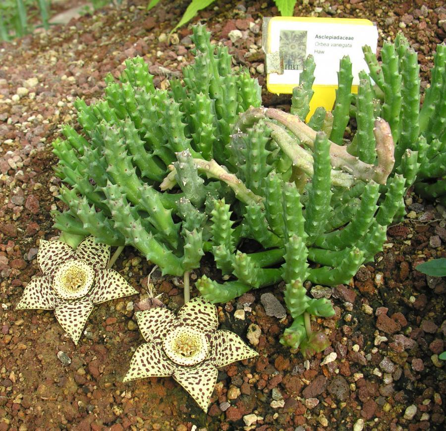 Le fioriture - Orbea variegata nella serra del Sudafrica dell'Orto Botanico di Torino (foto V. Fossa)