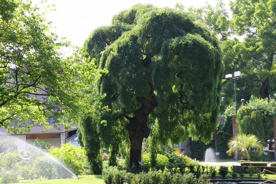 Sophora japonica - Trionfo in verde (foto M. Bosello)