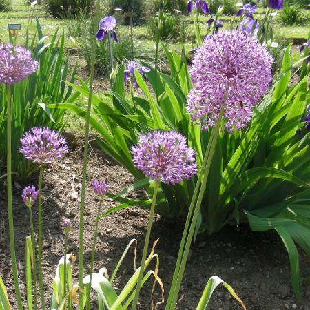 Allium aflatulense, Orto Botanico di Torino (foto V. Fossa)