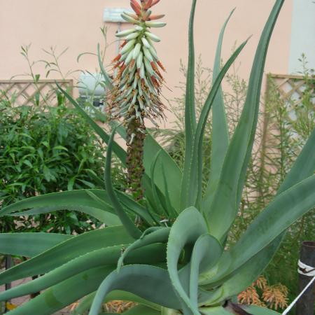 Le fioriture - Aloe speciosa nella serra del Sudafrica dell'Orto Botanico di Torino (foto V. Fossa)