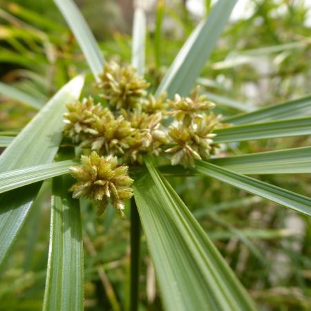 Cyperus alternifolius, Orto Botanico di Torino (foto V. Fossa)