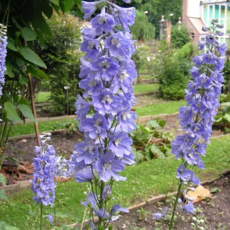Delphinium denudatum, Orto Botanico di Torino (foto V. Fossa)