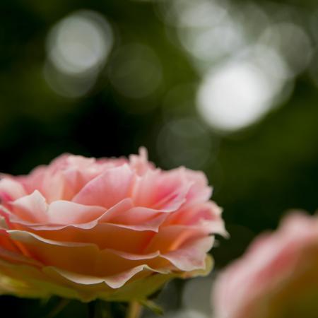 """""""Dolce rosa"""", Orto Botanico di Torino (foto A. Barbuto)"""