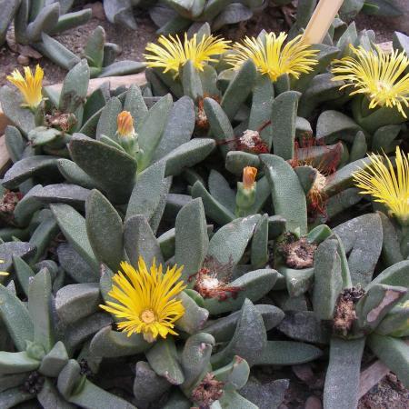 Pleiospilos kingiae, Serra succulente, Orto Botanico di Torino (foto V. Fossa)
