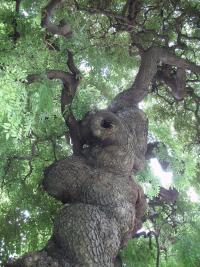 Sophora japonica, Orto Botanico di Torino (foto A. Spanio Capra)