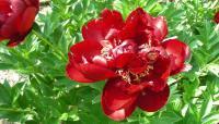 Paeonia bucheye belle (foto V. Fossa)