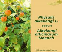 Physalis alkekengi L., Alchechengio
