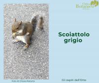 Sciurus carolinensis, Scoiattolo grigio